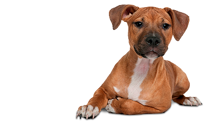 american_staffordshire_terrier.png